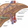 How does the liver work?
