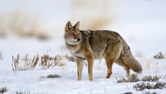 The best season to hunt coyotes